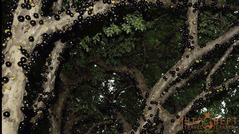 Джаботикаба (бразильское виноградное дерево)