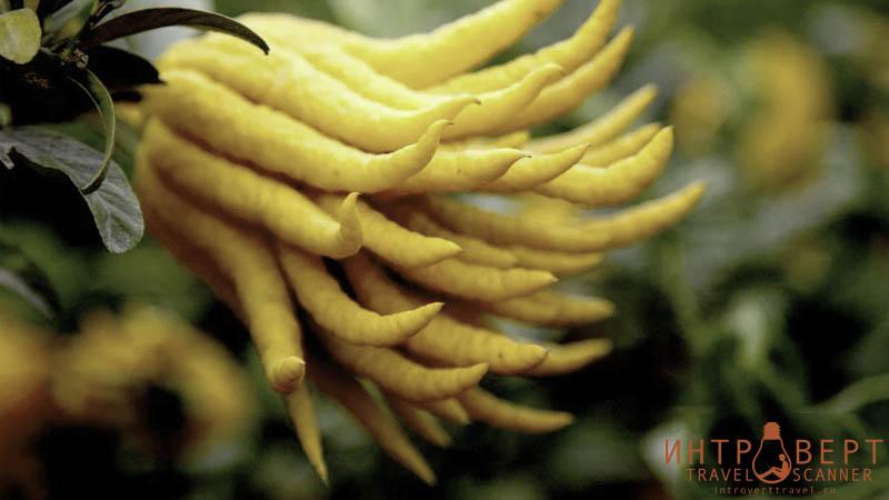 Рука Будды (цедрат, цитрон, корсиканский лимон)